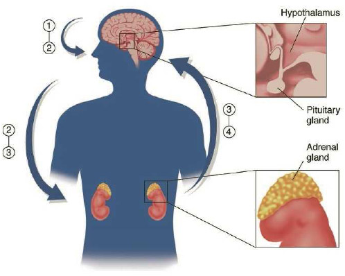 The body's stress hormone response. When the brain perceives stress, the hypothalamus releases corticotropin-releasing factor (1), which triggers the release of adrenocorticotropin (ACTH) (2) from the pituitary gland.