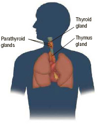 Anatomy of the thyroid glands, parathyroids, and thymus.