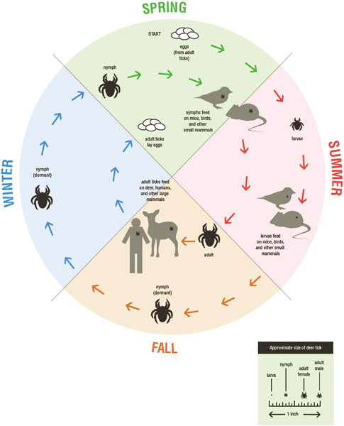 The life cycle of a tick takes 2–3 years to complete. In the spring, eggs hatch into larvae, which feed on mice, birds, and small mammals until the fall, when they become dormant.