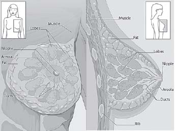 Figure 15.1. Anterior and Cross-Section View of Breast