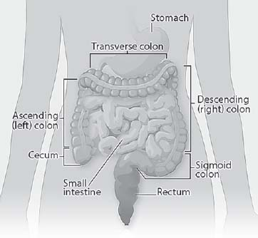Figure 15.2. The Colon and Rectum