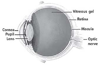 Figure 17.2. Parts of the Eye
