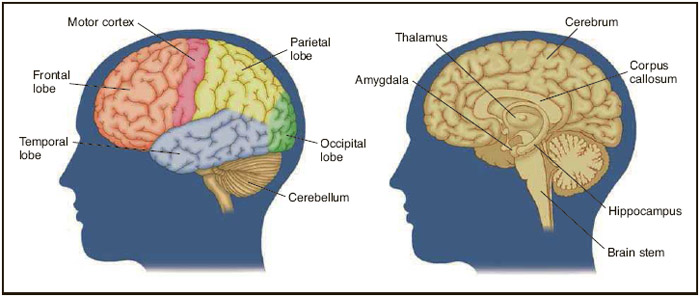 Parts of the brain.