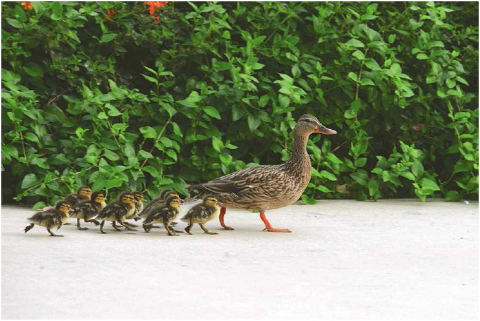Mother duck with babies following her.