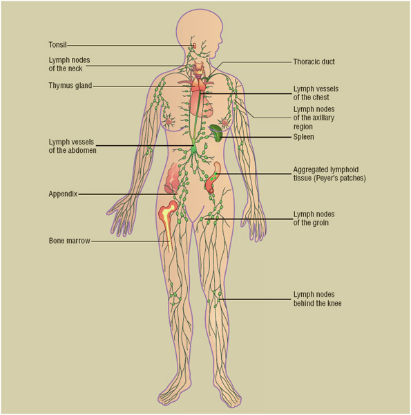 Components of the human lymphatic system, which carries nutrients to cells, then carries away waste products, clearing infection and helping body fluids stay in balance.