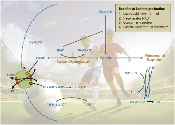 Figure 1. The Benefits of Lactate Production during Exercise. Adapted from Porcari, John P., Cedric X. Bryant, and Fabio Comana. Exercise Physiology. 1st ed. Philadelphia: F.A. Davis Company, 2015.