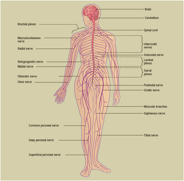 The autonomic nervous system is a network of nerves controlling muscles of the internal organs and glands, affecting the heart, blood vessels, lungs, stomach, intestines, salivary glands, and sweat glands.
