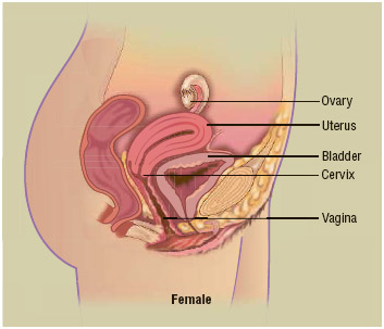 The female reproductive system. Healthy pregnant and postpartum women should remain physically active. Physically fit women have been shown to have an easier delivery and more comfortable, shorter period of recovery after giving birth.