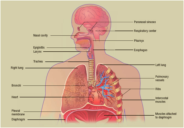 The primary function of the respiratory system is to deliver oxygen to the circulatory system, while removing carbon dioxide.