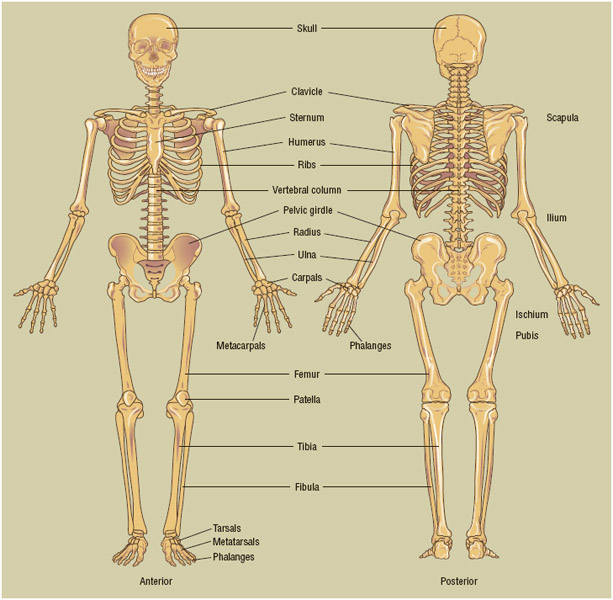 The human skeletal system. Humans are born with more than 300 bones, but some fuse during growth, reducing the overall number.