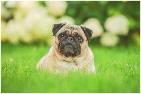 Pugs are one of several breeds with severe difficulties in breathing due to selective breeding.