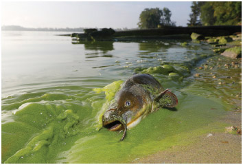 A catfish appears on the shoreline in the algae-filled waters of North Toledo, Ohio.