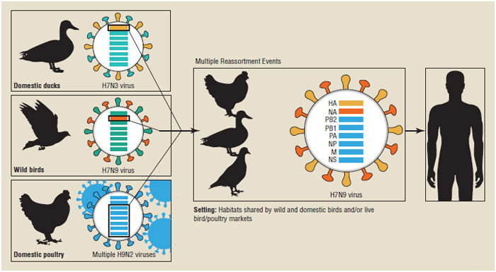 Genetic evolution of H7N9 virus in China. The eight genes of the H7N9 virus are closely related to avian influenza viruses found in domestic ducks, wild birds, and domestic poultry in Asia.