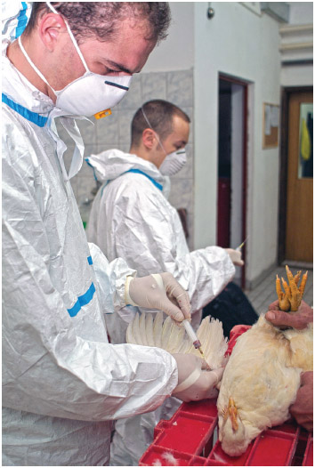 Bosnian Ministry of Agriculture vets taking blood samples from American Cobb chickens to test for H5N1 Avian Bird Flu virus as part of stringent new controls introduced by the Government of Bosnia Herzegovina, Eastern Europe.