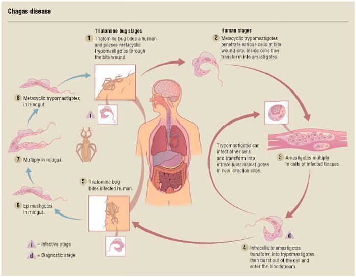 Chagas disease transmission.