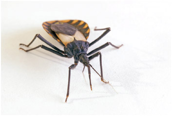 The kissing bug, a chagas disease vector triatomine.