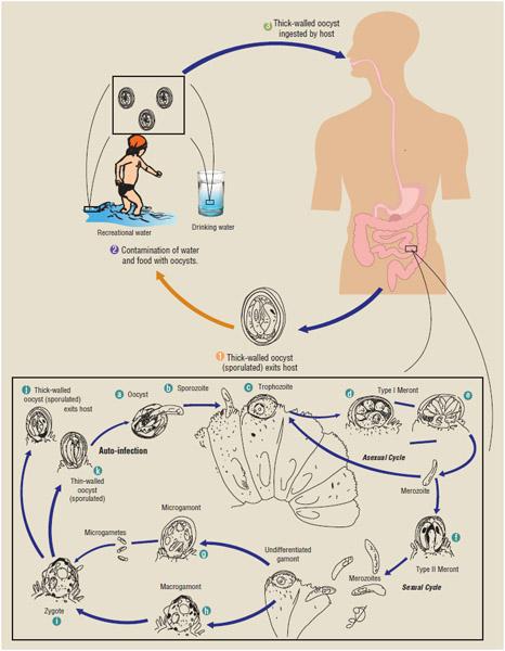 Cryptosporidiosis transmission.