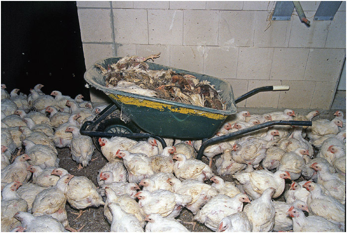 A wheelbarrow full of dead chickens among living birds jammed together in a fattening farm—a condition many birds don't survive.