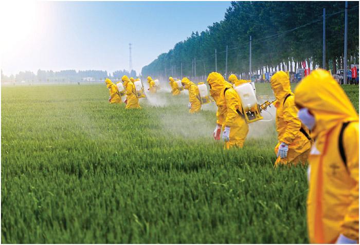 Farmers spraying pesticide in wheat field.