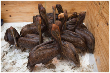 Oiled Brown Pelicans, Louisiana's State bird that was taken off the endangered species list in November 2009,
