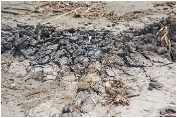 March 31, 2015, Five years after the BP oil spill, A Tar mat on East Grande Terre Isalnd, a barrier island in Plaquemines Parish that was hit hard by the BP oil spill in 2010.