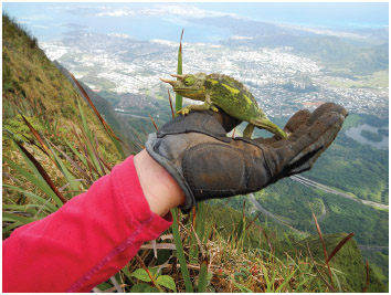 The Jackson's chameleon is an invasive species that was introduced to Hawaii in the 1970s, and primarly found at altitudes of 100 to 1,000 m (330 to 3,280 ft) in wet, shady places.