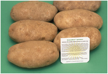 Six potatoes grown using gene splicing biotechnology to make them resistant to certain insects.