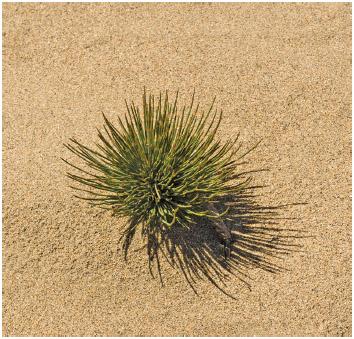 Ephedra plant in a desert.