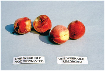 Peaches, some irradiated, not showing rot after two weeks.