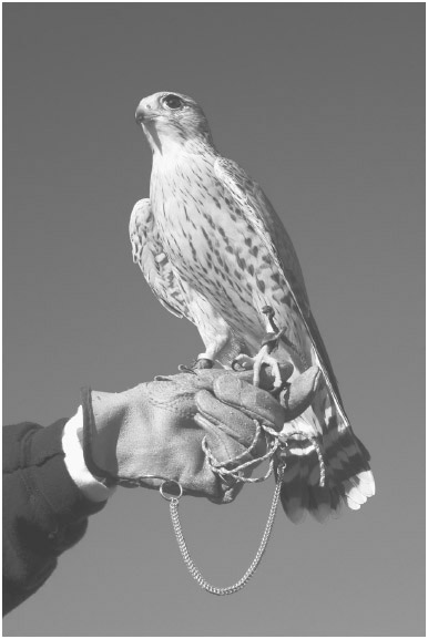 FIGURE 8.1 Falconry is a form of hunting accomplished using trained birds of prey.