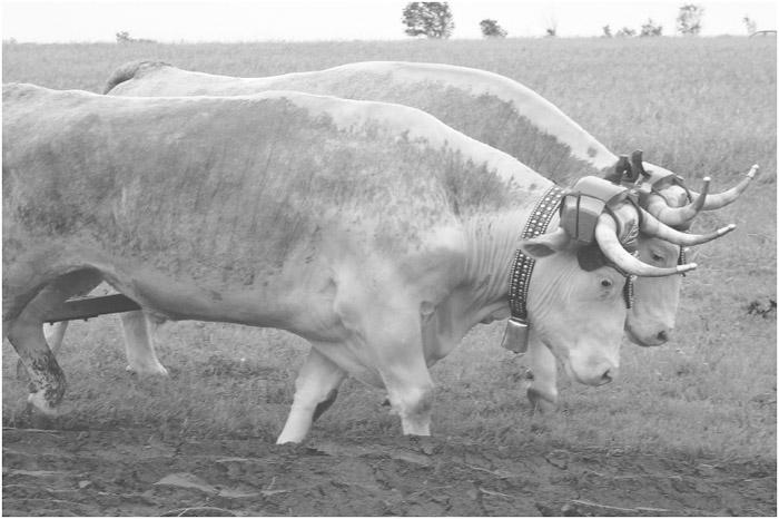 FIGURE 8.2 Plowing oxen.