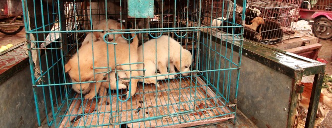 Puppies in cages (sold for food) are on sale for restaurants and customers at a market in Lijiang, northern Yunnan Province, on September 29, 2012. When food is scarce in China, dogs are eaten as an emergency food source around the country in a practice which is seen as socially acceptable.