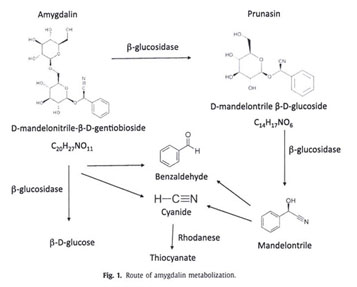 Gale Academic OneFile - Document - Amygdalin, quackery or cure?