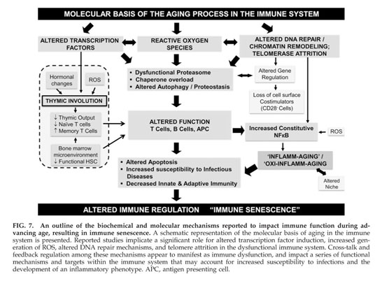 Gale Academic OneFile - Document - Aging and immune function