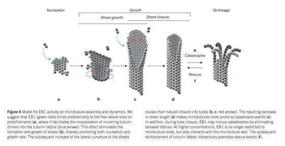 Gale Academic OneFile - Document - EB1 regulates microtubule