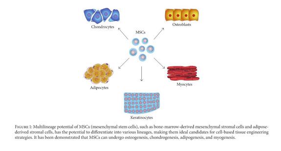 Gale Academic OneFile - Document - Mesenchymal stem cells