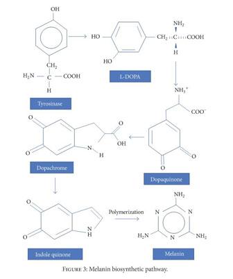 Melanogenesis And Melanin Formation From Tyrosine - Alkaloids | 402x336