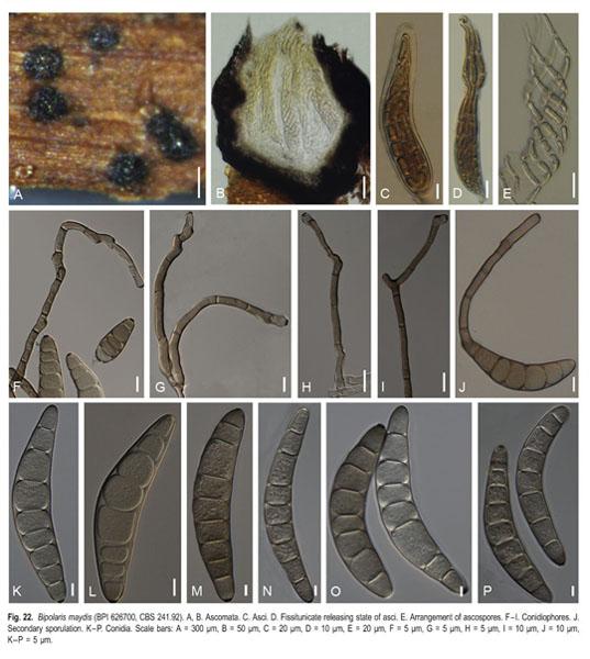 Helminthosporium incurvatum. Helicobacter paraziták kezelése