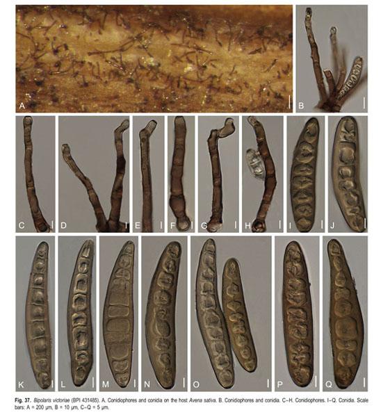 helminthosporium nodulosum