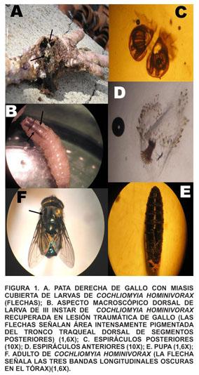 ¿Pueden las larvas de sarcophagidae ser parasitarias en humanos?