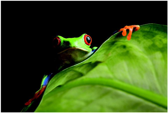 Unlike some other frog species, the red-eyed tree frog is not presently threatened with extinction. Scientists continue to carefully study the tropical-rainforest dweller, whose survival can be impacted by deforestation and lack of rain. Image