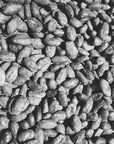 Cacao beans were highly prized by the Mayas, both as food as well as a type of money. Birchbank Press Photo Bank. Reproduced by permission.