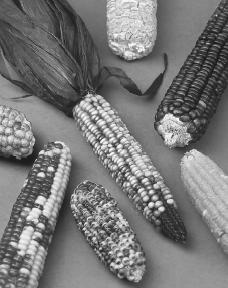Maize, or corn, was the primary crop of Maya farmers. U.S. Agricultural Research Service, USDA.