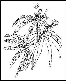Figure 1. Marijuana.