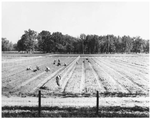 Laborers weed seedlings at a TVA tree nursery near Alabama's Muscle Shoals region in 1942.  FRANKLIN DELANO ROOSEVELT LIBRARY