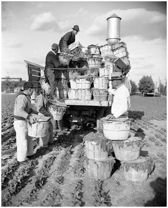 Japanese Americans at work at Seabrook Farms, New Jersey, a halfway house to freedom. (Associated Press/Wide World Photo)