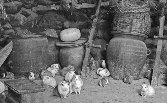 Guinea pigs roam freely in a private residence in Ollantaytambo, Peru.