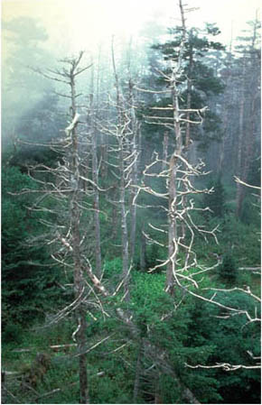 Trees in the Great Smoky Mountains killed by acid rain. Aluminum washed into the soil prevents the roots of trees from absorbing essential nutrients.