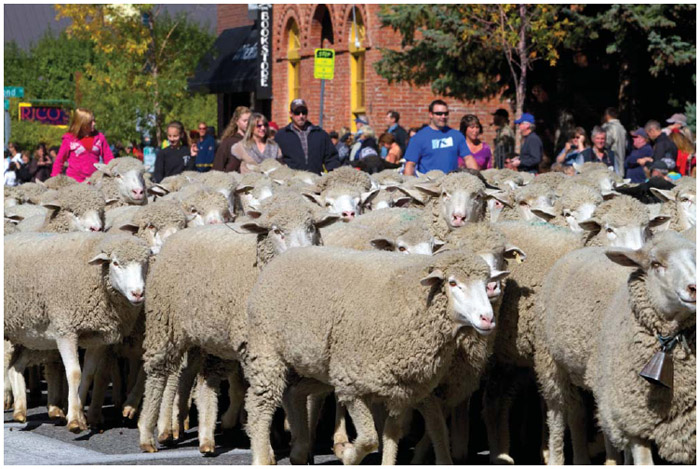 At the Trailing of the Sheep Parade on Main Street in Ketchum, Idaho, sheep are moved to their winter pastures.