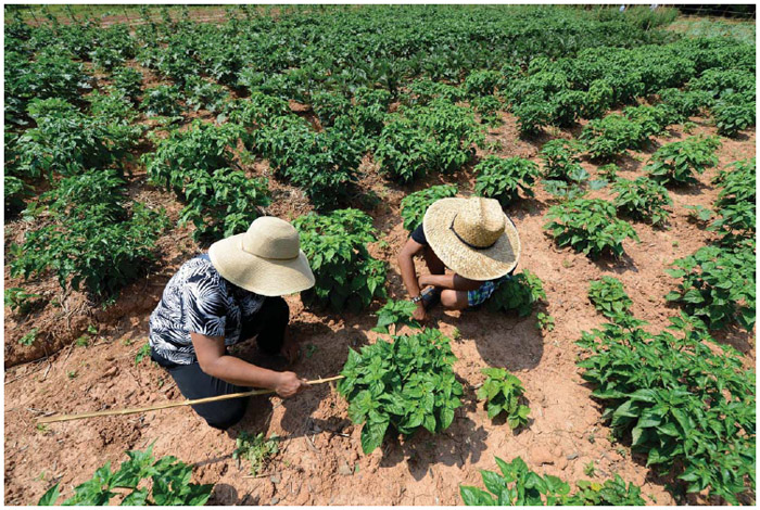 A Burmese woman and her son, both refugees from Myanmar, tend to their crop of Burmese variety hot peppers in their plot at the Global Growers Network's Bamboo Creek Farm in Stone Mountain, Georgia USA. The incubator farm is